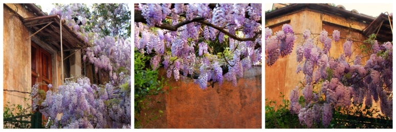 Wisteria in Rome on Via Margutta - RomeCabs